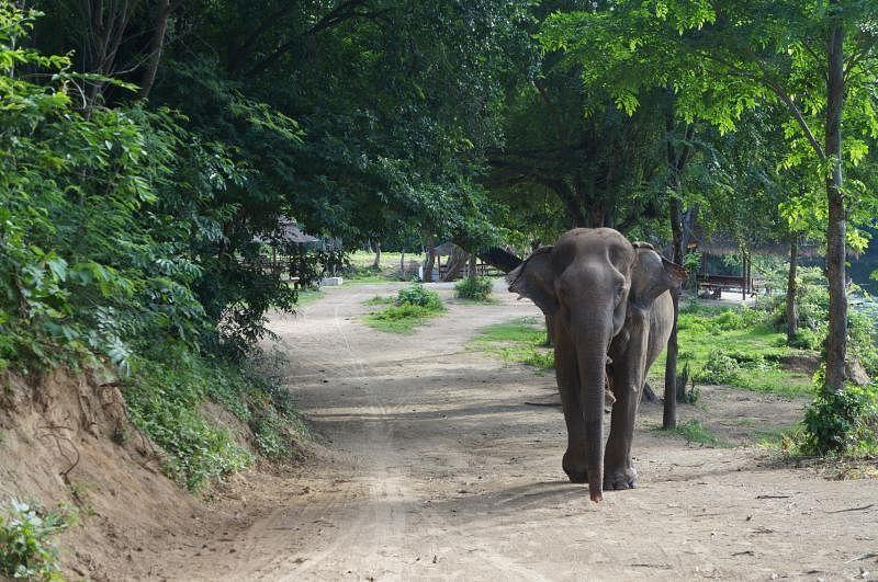 """""""大象世界""""为体弱多病的亚洲象提供照料,大象在这里不会被圈养,而是在森林里有充足的活动空间。"""