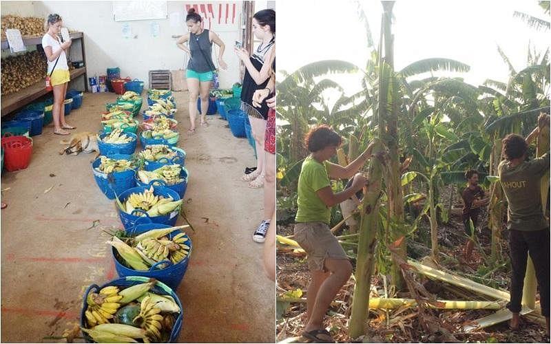 义工为大象准备水果篮(左)和砍伐它们要吃的植物(右)。