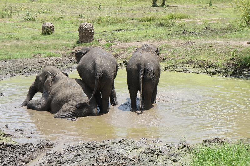 大象喜欢戏水泡泥沼,除了可以驱走热气,还能去除皮肤上的寄生虫。