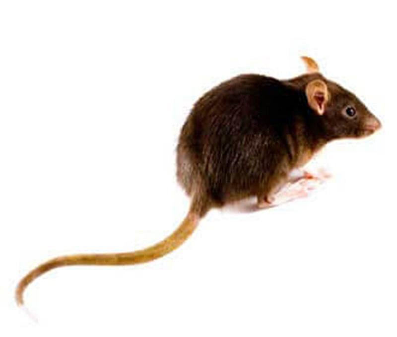 main_brown-rat-image_Medium.jpg