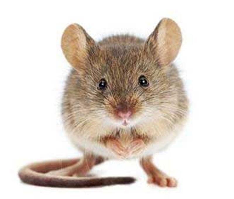 main_house-mouse-mus-musculus_Medium.jpg