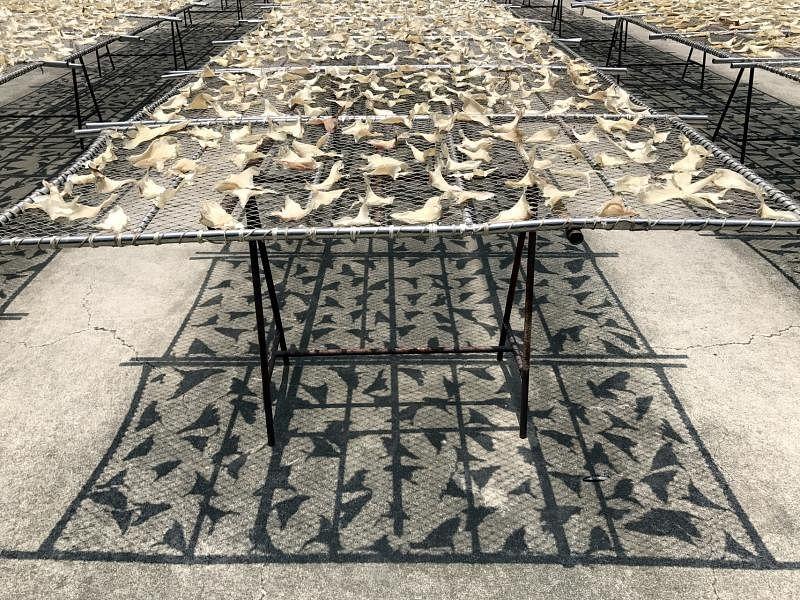 在高雄鱼翅工厂,处理过的鲨鱼鳍曝晒一到五天后变成人们所熟悉的鱼翅。(李丽敏摄)