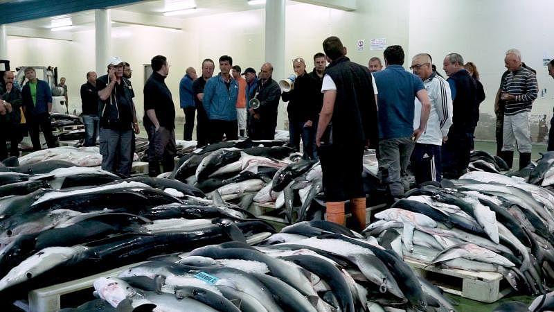 西班牙鱼商聚集在维哥鱼市场,为新鲜鲨鱼竞标。(叶佩蓉摄)