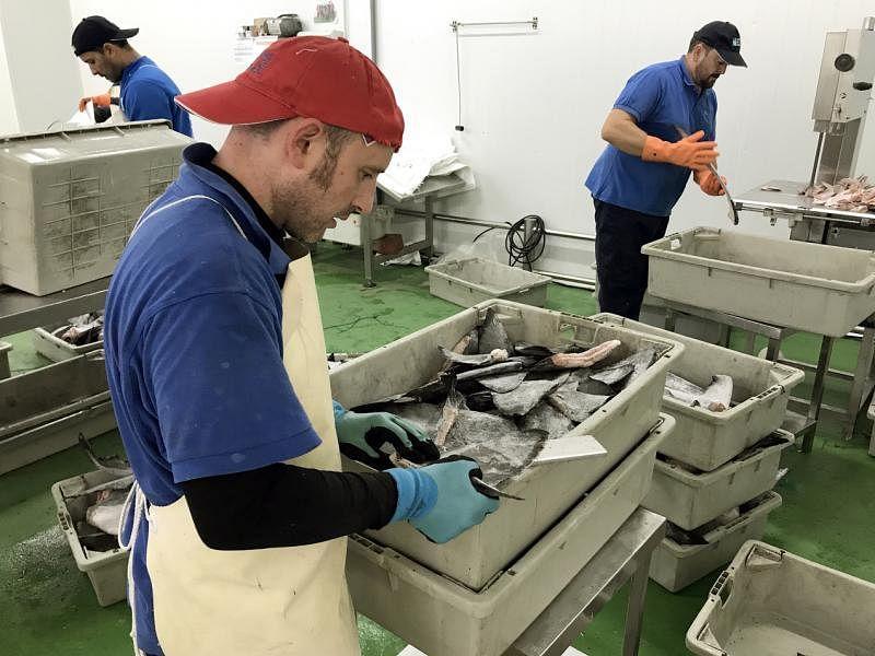 未经加工的鲨鱼鳍在出口前,必须先按尺寸大小分类。(李丽敏摄)