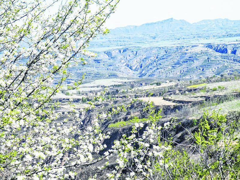 4月中旬的陕北高原已披上绿装,雷赤乡和云岩镇一带苹果花盛开。