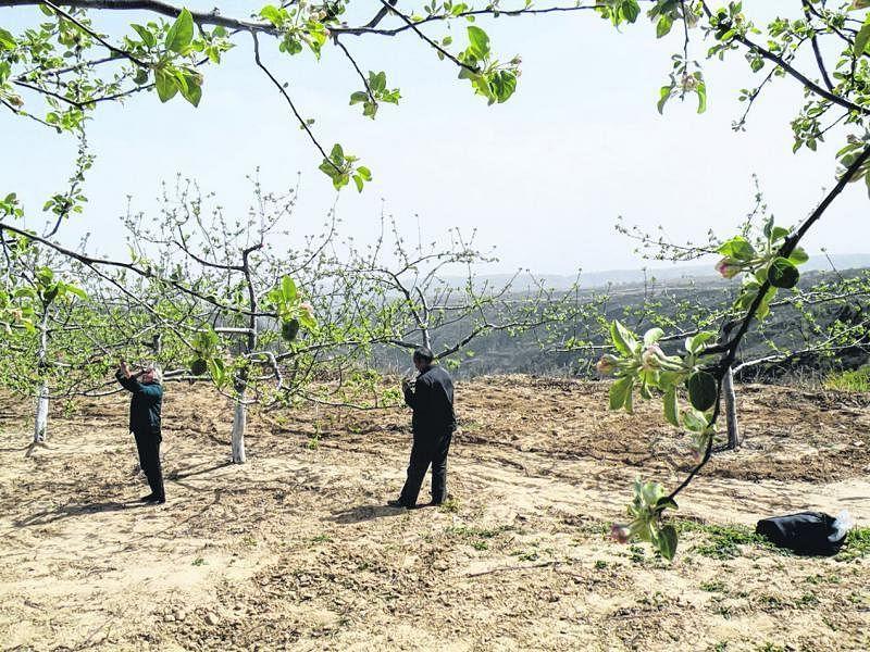 果农在苹果树下剪去多余的果苗,好让果树长得更好,可卖个好价。