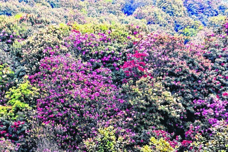 百里杜鹃有40多个杜鹃花品种。
