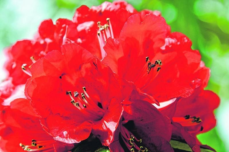 由十多个花管集合成的杜鹃花。