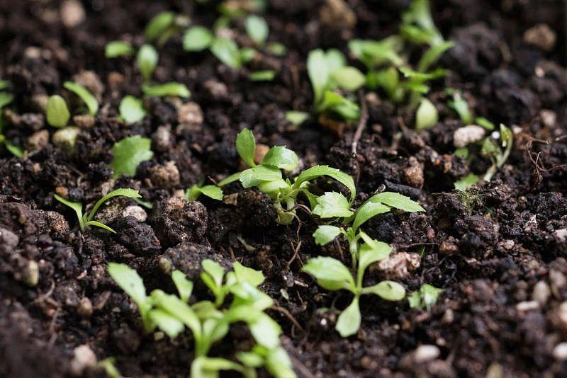 新鲜种子一般只需一周就能发芽。