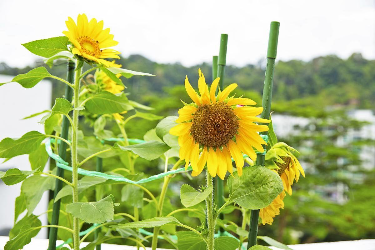 向日葵的花有一定重量,可用绳索和植物专用支撑架,固定花朵位置。