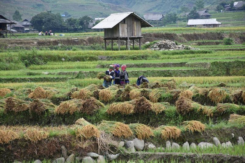黑蒙妇女在田里忙收割。