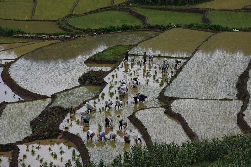 梯田是古老智慧的结晶,无论是插秧或收割,村民在田里展现可贵的集体劳作精神。