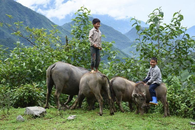 牧童表演站立在牛背上的绝活。