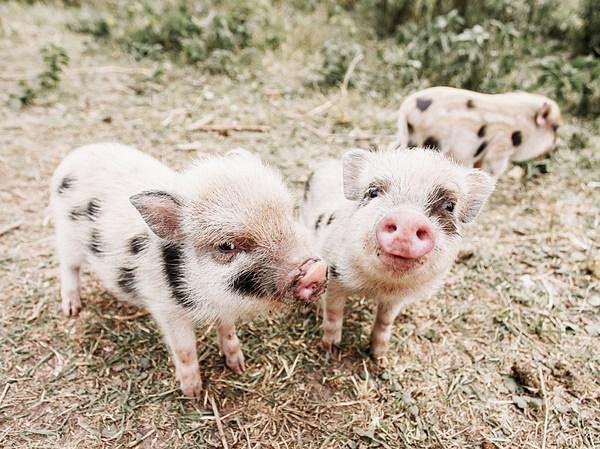 《与迷你猪见面》.jpg