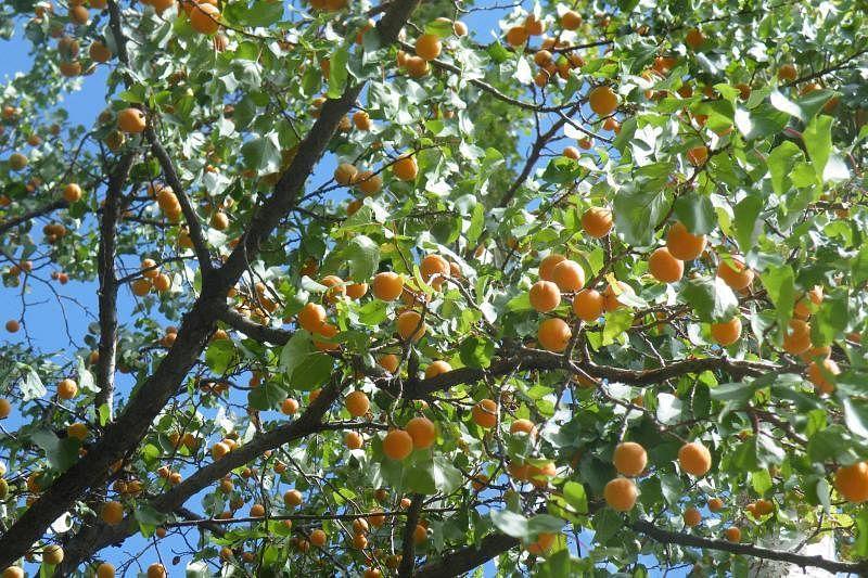 金灿灿的杏子树满载旅人在小村庄美好的回忆。