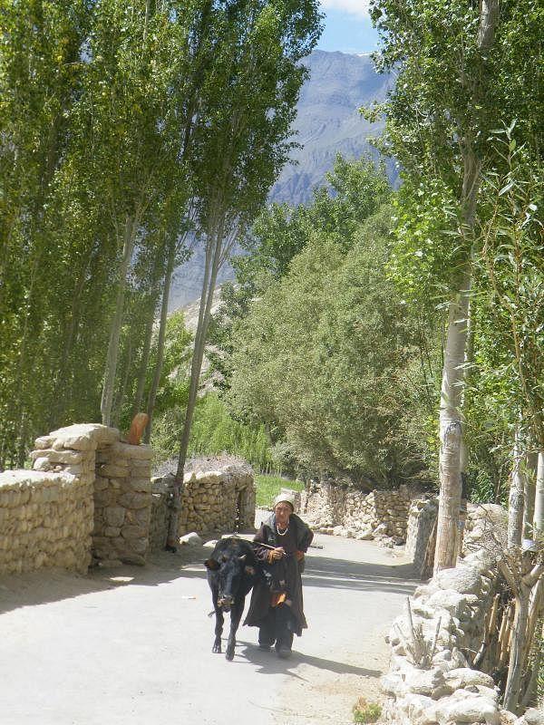 老妪牵着牛走在村子宁静的小路上。