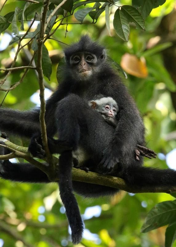 在我国濒临绝种的印度尼西亚叶猴。(档案照)