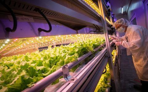 台达集团新加坡子公司在榜鹅数码园区展示厅设立首个货柜型植物工厂,这套生产模式能进一步扩展,并适合栽种46种蔬菜和草药。(陈来福摄)